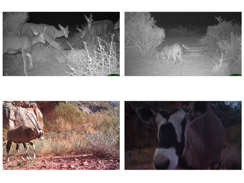Figure 5.  Top: two grayscale infrared images.  Bottom: two full-color images of an oryx.