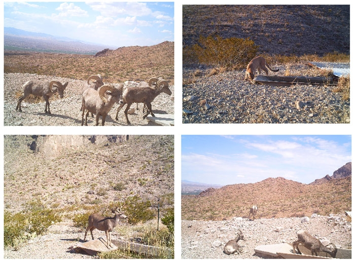 Figure 8. Classification of previously unclassified images from the Armendaris ranch. The upper images are classified by the CNN as bighorn sheep and puma, evidently correctly.  The lower images are also classified as bighorn sheep and puma, apparently incorrectly.
