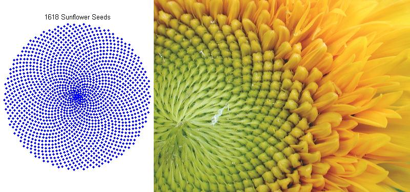 model a sunflower with the golden ratio file exchange